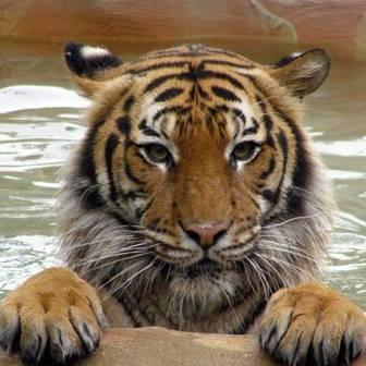/aa_tiger_resized_53458.jpg