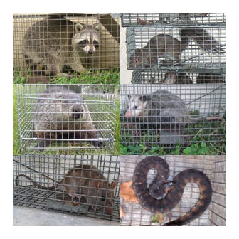 /animal-capture-wildlife-control_41925157_1740473_image-1_71850.jpg