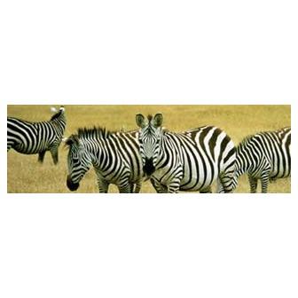 /animals-grevyszebra_53815.jpg
