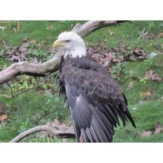 /bald-eagle_53273.jpg