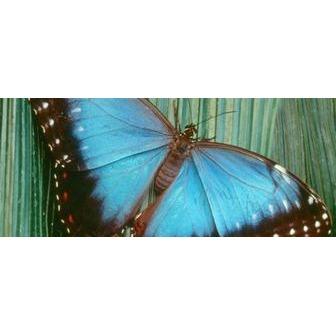/butterfly_blue_morpho_50894.jpg