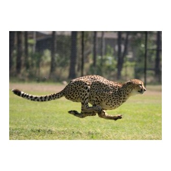 /cheetah-run-300x214_55052.jpg