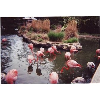 /flamingoes_46870.jpg