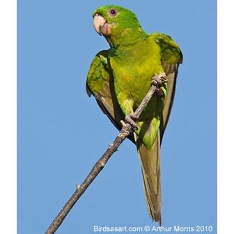 /green-parakeet-artiemorris_54976.jpg