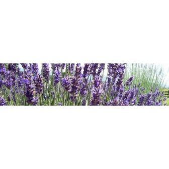 /lavender_57823.jpg