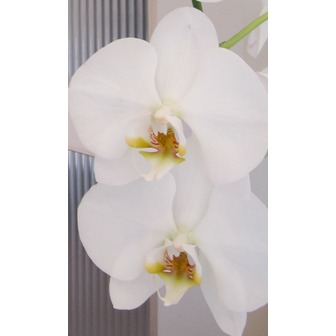 /orchids_51795.png