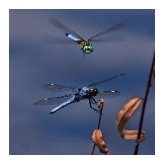 /two-dragon-flies_getty-edit-edit-edit-300x300_54441.jpg