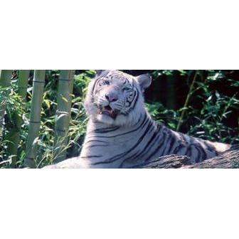 /white_tiger2_50876.jpg