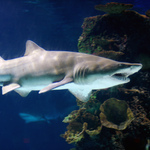 Sand Tiger Shark - Cincinnati Ohio