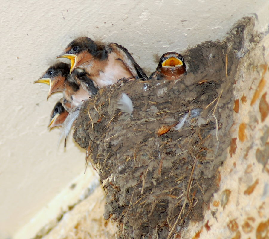 Baby Barn Swallow 109