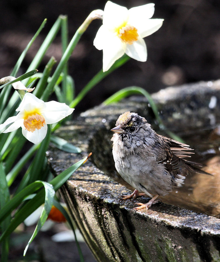 Baby Goldfinch & spring flowers