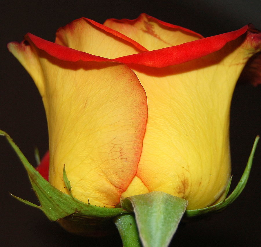 Bright Yellow Red Rose