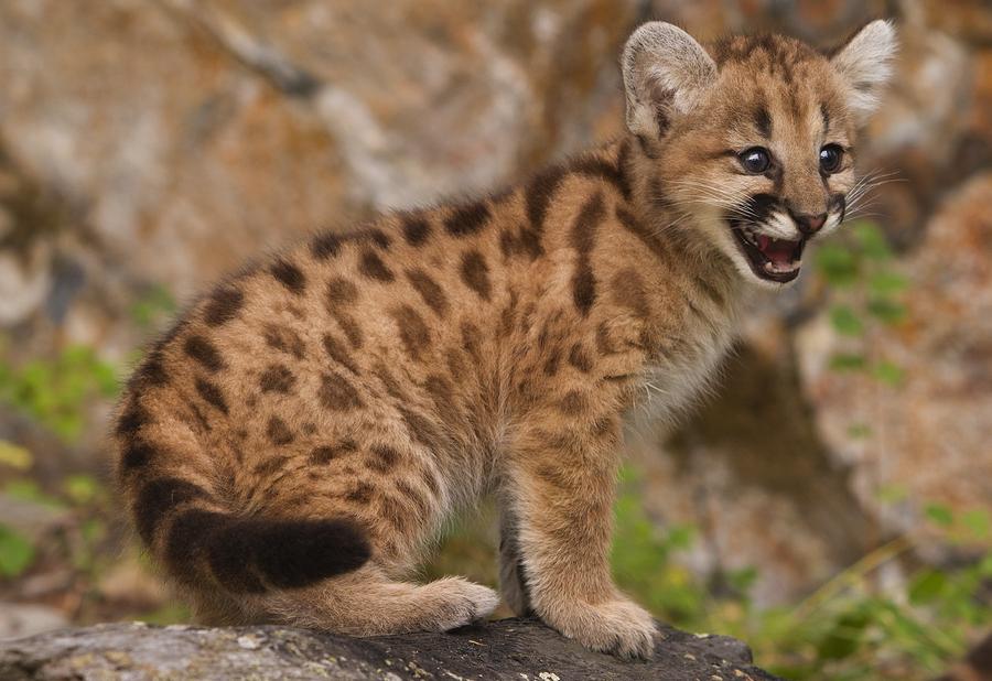 Cub And Cougar
