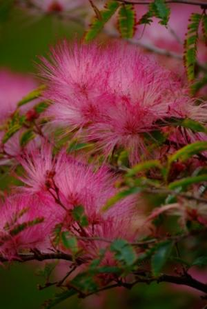 Fluffy pink flowers mightylinksfo