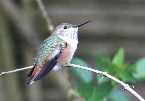 hummingbird4
