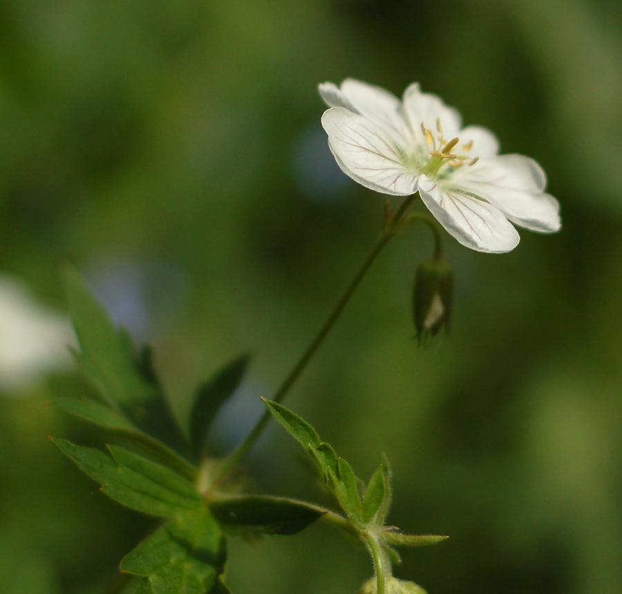 Small white wildflower mightylinksfo