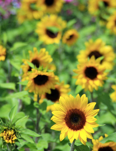summer sunflowers andrea - photo #6