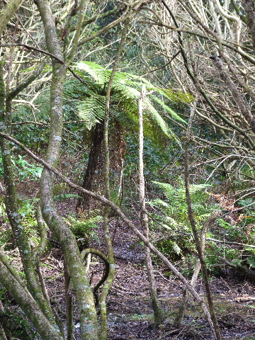 Swamp Tree Fern