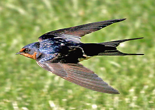 The barn swallows of summer - EQUINE Ink