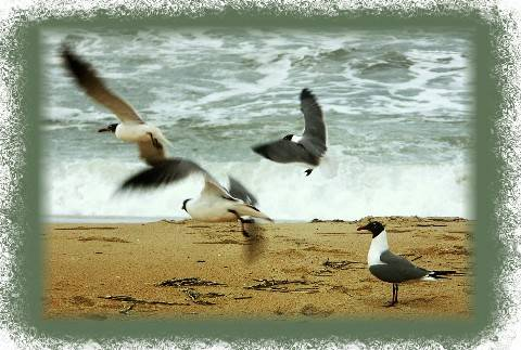 Atlantic Ocean Gulls