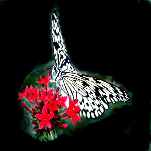 black  amp  white butterfly   copyright owned by starshot