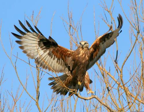 Desert Hawk Animal Mojave desert