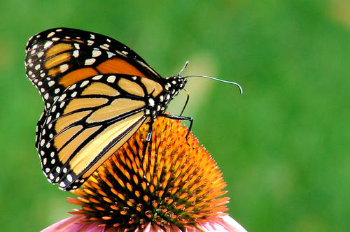 Monarch Butterfly, Monarch Butterfly Pictures, Butterfly Types, Butterfly Names List