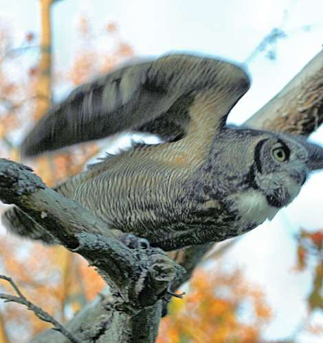 Great horned owl taking off - photo#12