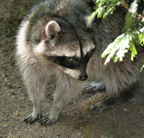 raccoon in back yard