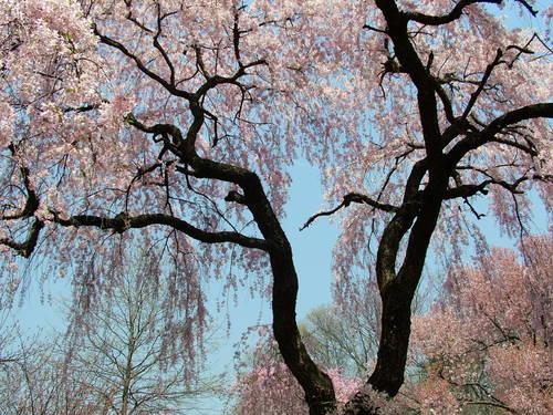 طبيعه تجنن Springtrees_15566
