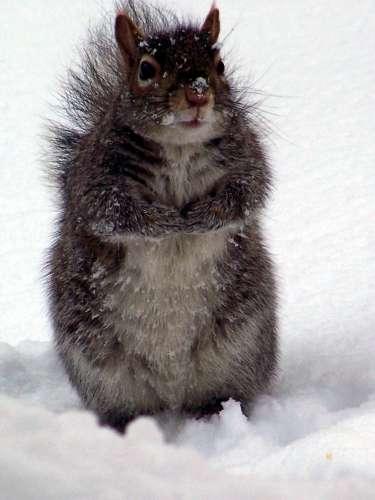 Zimski ugođaj :) Squirrel_8948