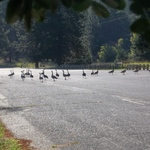Canadian Geese crossing the road.