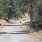 Bear going over the mountain!