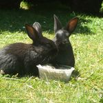 2 black bunnys