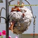 #2 hornet nest