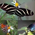3 Florida Butterflies