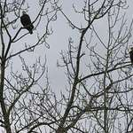 3 Bald Eagles in a Tree