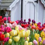 Tulip Haven