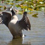 Goose Hostility