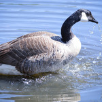 Goose in Action