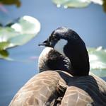 A Goose's Perceptive