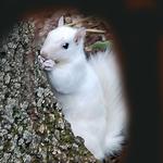 6.25 Albino Squirrel