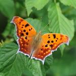 6.75 Orange Butterfly Glow2