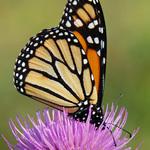 6.88 Monarch On Marsh Thistle Flower