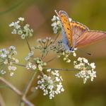 7.10 Dainty Butterfly