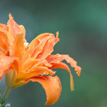 Daylily Divine