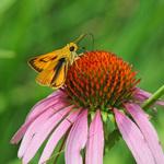 7.25 Orange Moth Visitor