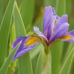 7.25 Purple Iris