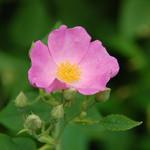 7.25 Wild Pink Rose Beauty