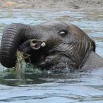 7.75 Baby Elephant Surprised Look